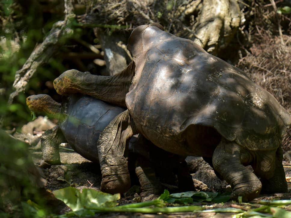 Želvak Diego med ohranjanjem vrste
