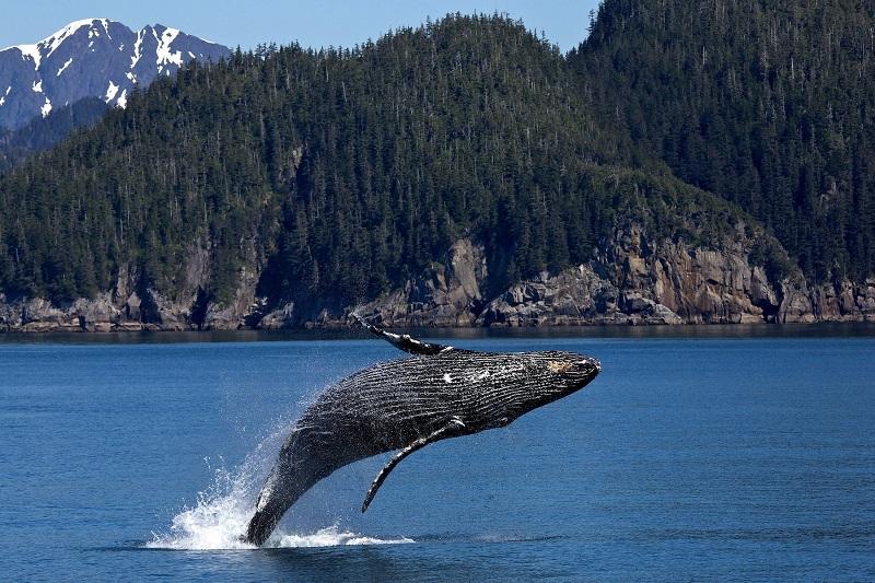 Kit glavač