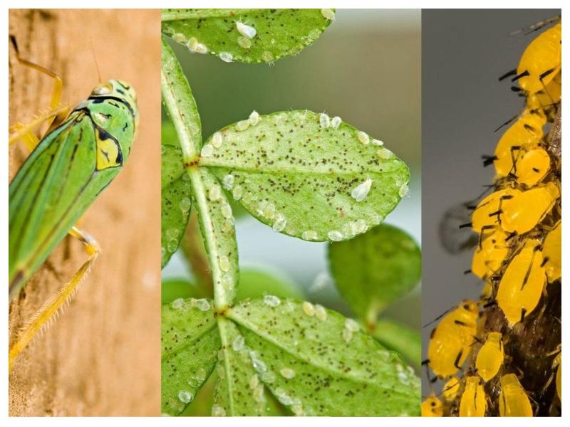 Insekti - novo biološko orožje