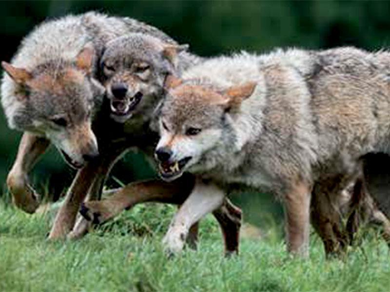 Krdelo, volkovi