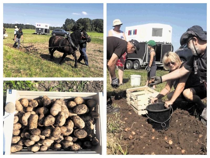 Krompir - pobiranje