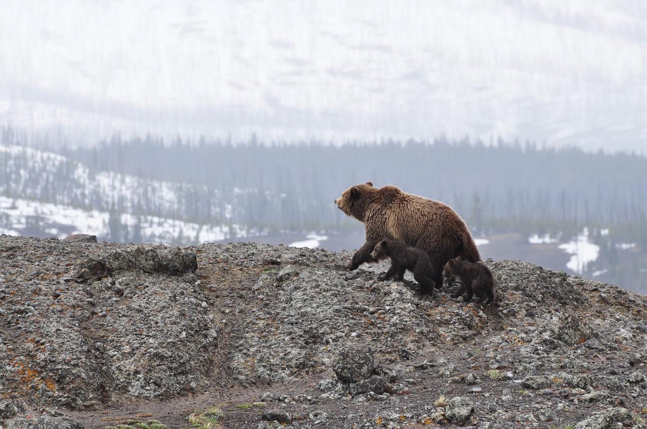 Medvedje, rjavi Vir:Pixabay