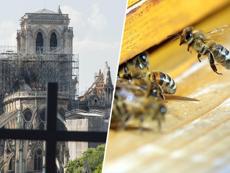 Aleluja: čebele v Notre Dame preživele požar, ki sta ga najverjetneje povzročila dva sodobna človeška izuma