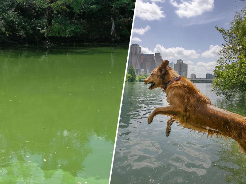 V Blejskem jezeru preveč zlato rjave planktonske alge, še nevarnejše so modrozelene – bliskovito ubijejo pse