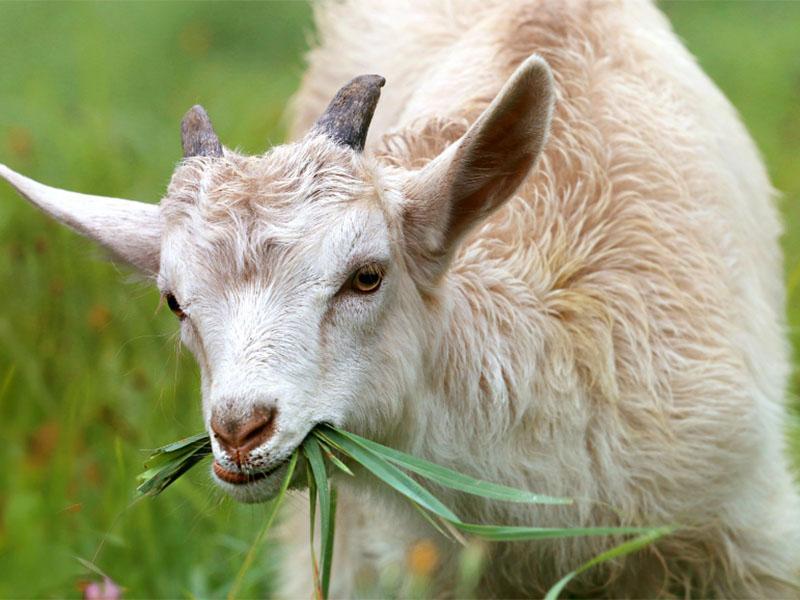Koze so sposobne prepoznavajo čustva na obrazih ljudi