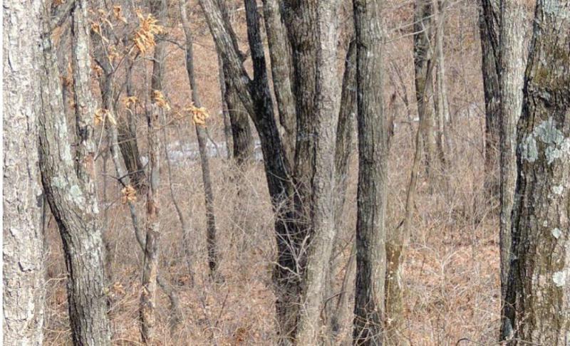 Na tej sliki se skriva ogroženi sibirski leopard. Ga lahko najdete?