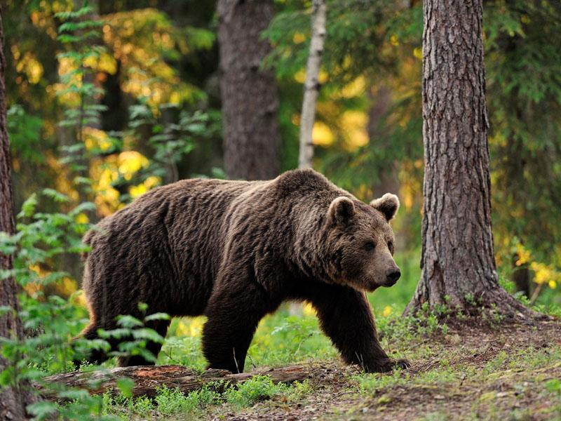 Medved poškodoval 80-letnico, Šarec pohvalil sprejem interventnega zakona za odstrel medvedov in volkov