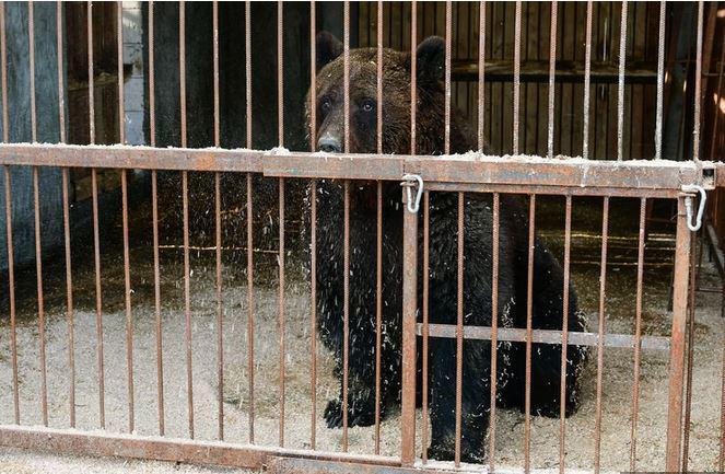 »Takih zverstev še niste videli«: V Albaniji norijo za medvedjim mesom, a to lahko vodi v novo nevarno epidemijo