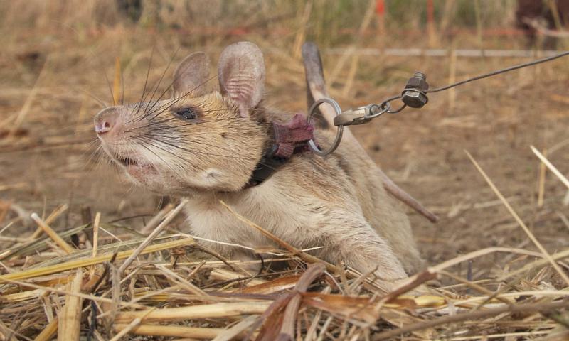 Zlato medaljo za hrabrost je dobila Magawa – pogumna in visoko usposobljena, deminerska podgana