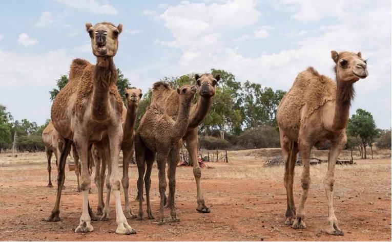 V Avstraliji bodo pokončali 10.000 kamel - le zaradi pomanjkanja vode