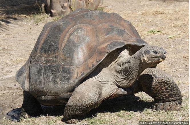 Najdeni fosili želve v velikosti avtomobila: Ta vrsta je še vedno misterij za znanstvenike