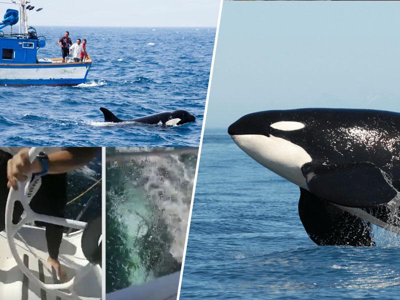 Narava vrača udarec: Ubijalske orke »orkestrirano napadajo ladje«