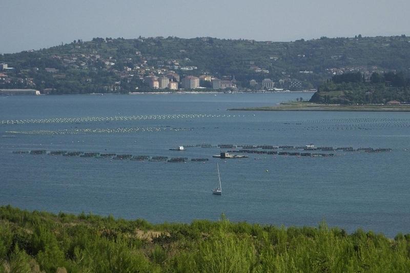 Hrvaški školjkarji širijo školjčišča v slovenskem delu Piranskega zaliva