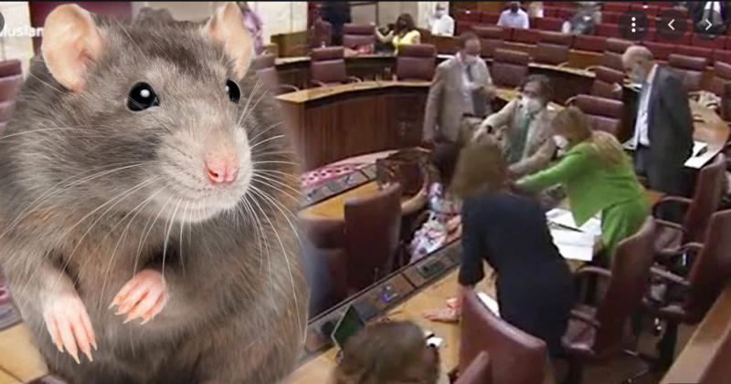 Podgana napada! »Orjaški« glodalec zakrivil precejšnje vznemirjenje, ko se je pretihotapil na sejo parlamenta