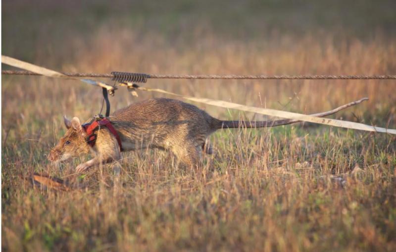 Odlikovana deminerska podgana odhaja v zasluženi pokoj