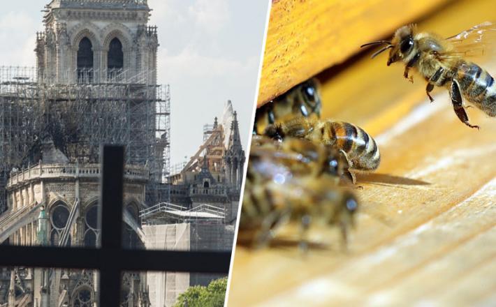 Aleluja - čebele in Notre Dame