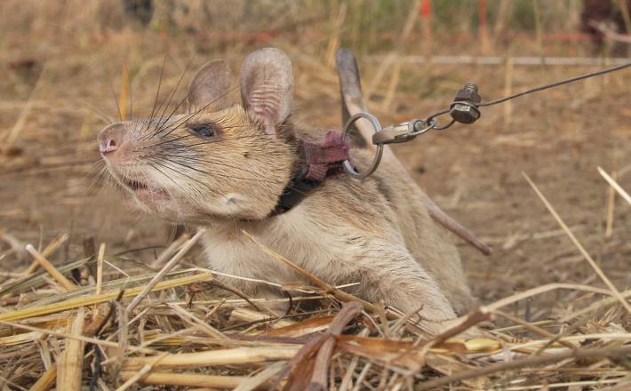 Magawa - deminerska podgana