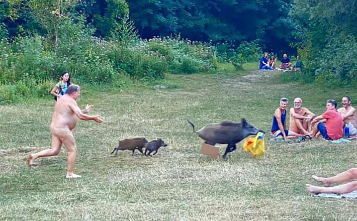 Kam gredo divje svinje?