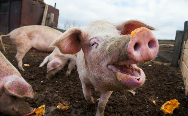 Svinja   Vir:Global Meat News