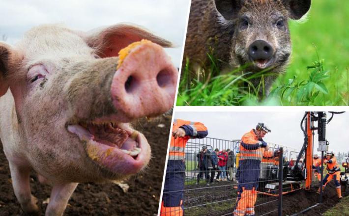 Svinjska gripa - zaščita