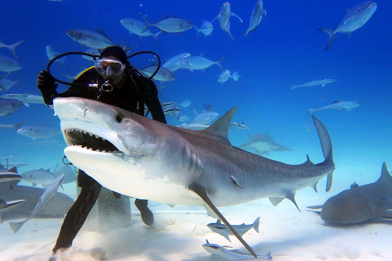 Tigrasti morski pes s potapljačem Vir;YouTube