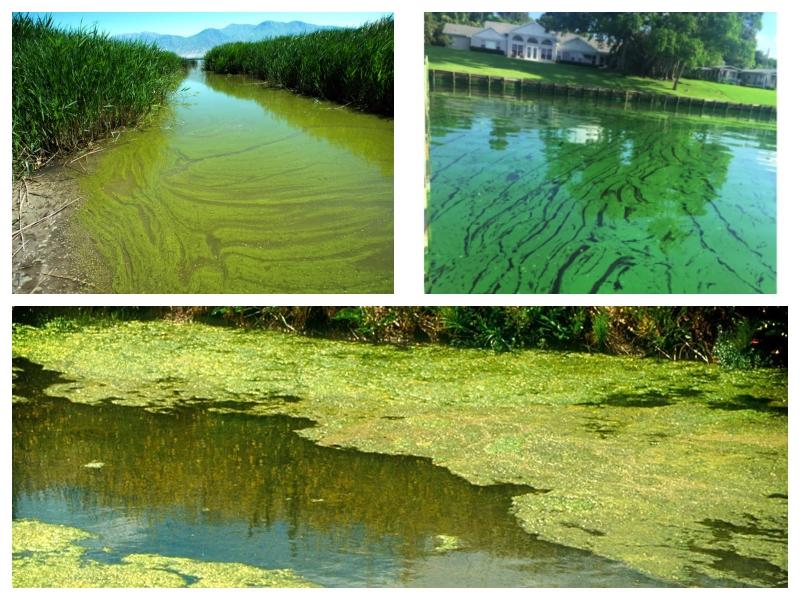 Zelene alge - toksini